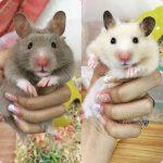 chọn nuôi hamster