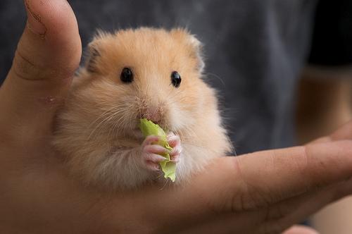 hamster giá rẻ uy tín gò vấp tp hcm