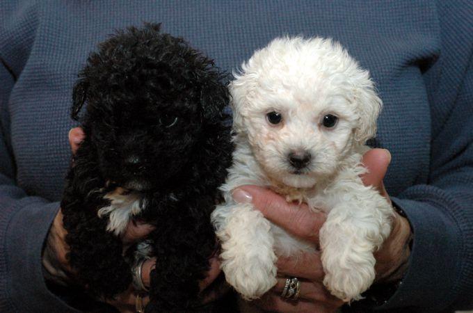 poodle trắng và đen