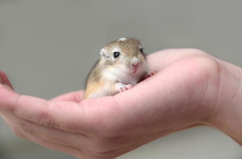 chuột nhảy gerbil