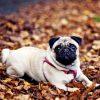 Chó Pug mặt xệ 1