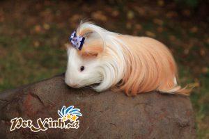 Các chủng loại guinea pig 5