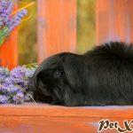 TOP 10 BỘ LÔNG KỲ ẢO CỦA BỌ Ú GUINEA PIG 3
