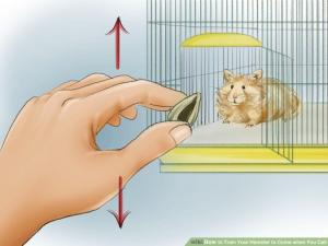 Cách huấn luyện hamster chạy đến bên bạn khi bạn gọi chúng 4