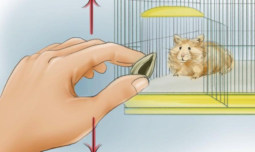 Cách huấn luyện hamster chạy đến bên bạn khi bạn gọi chúng 1