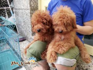 Những bé thú cưng đang có mặt tại PetXinh đợt hàng tháng 10/2017 3