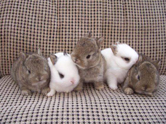 Thỏ lùn Hà Lan với dáng vẻ siêu mini đáng yêu