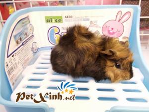 Những bé thú cưng đang có mặt tại PetXinh đợt hàng tháng 10/2017 20