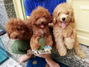 Những bé thú cưng đang có mặt tại PetXinh đợt hàng tháng 10/2017 9