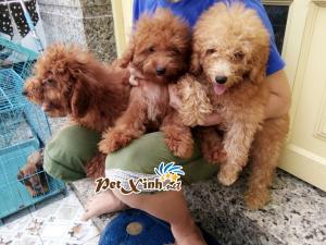 Những bé thú cưng đang có mặt tại PetXinh đợt hàng tháng 10/2017 6