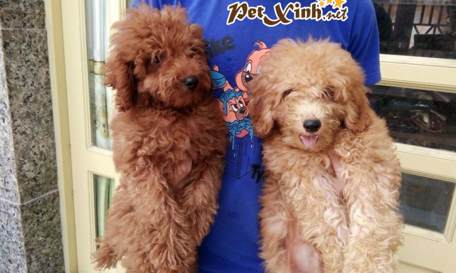 Những bé thú cưng đang có mặt tại PetXinh đợt hàng tháng 10/2017 8