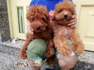 Những bé thú cưng đang có mặt tại PetXinh đợt hàng tháng 10/2017 5