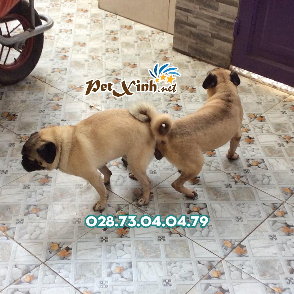 Phối giống chó Pug mặt xệ (bao đậu) 2
