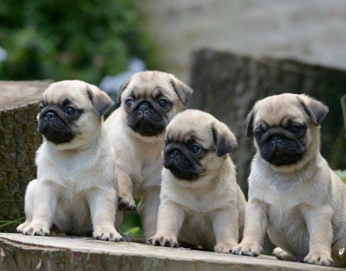 Phối giống chó Pug mặt xệ (bao đậu) 4