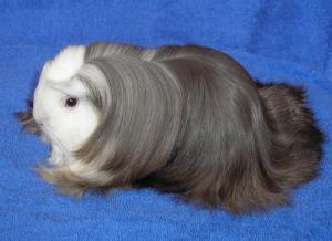 Các chủng loại guinea pig 3