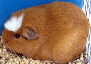 Các chủng loại guinea pig 2