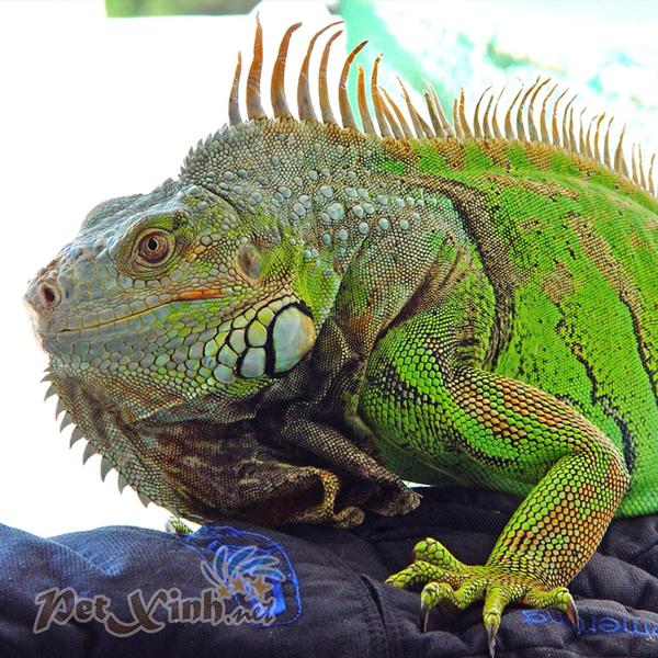 rồng nam mỹ xanh green iguana