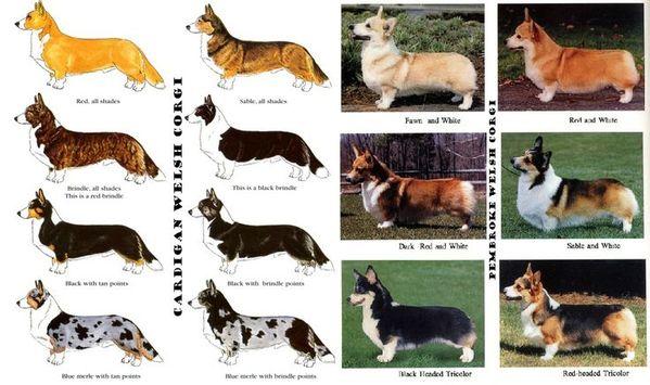 Các chủng loại chó Corgi 4