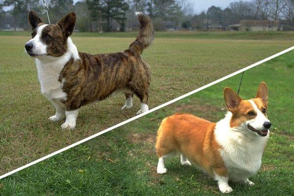 Các chủng loại chó Corgi 2