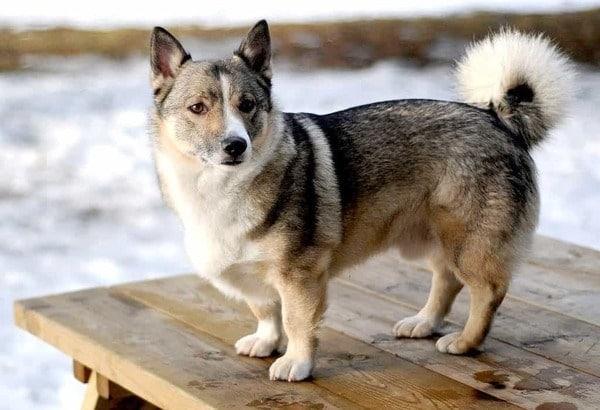 Bé corgi lai Husky ngoại hình điềm đạm như husky nhưng vẫn giữ đôi chân ngắn đáng yêu
