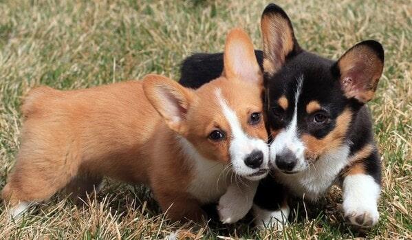 Các chủng loại chó Corgi 1