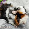 bọ ú guinea pig abi