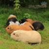 bọ ú mỹ guinea pig america