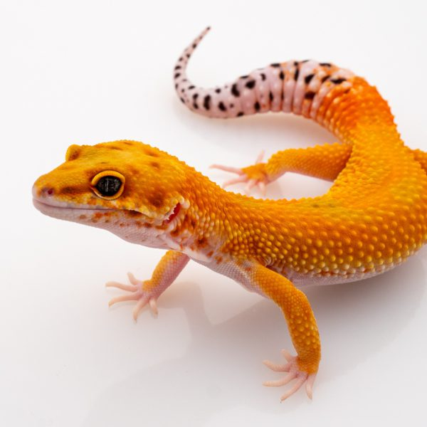 thằn lằn da báo leopard gecko