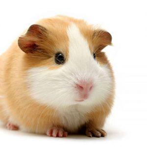 Bọ ú mỹ guinea pig American
