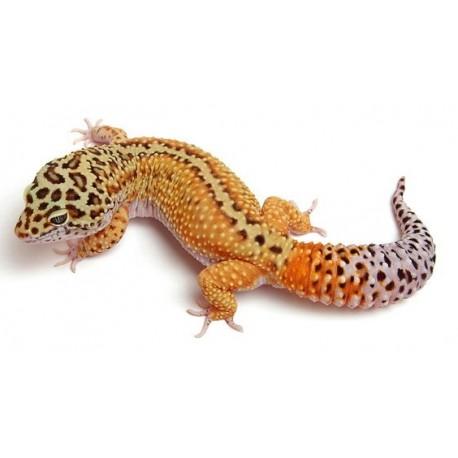 Thằn lằn da báo leopart gecko