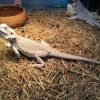 Pogona - Rồng Úc (Bearded Dragon) 1