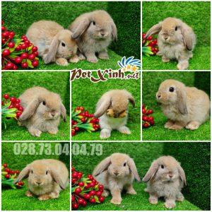 Thỏ tai cụp Minilop 13