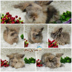 Thỏ sư tử (Thỏ lông xù) 11