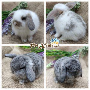 Thỏ tai cụp Minilop 7