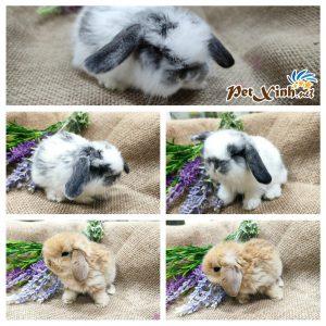 Thỏ tai cụp Minilop 9