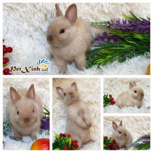 Thỏ lùn Hà Lan 11