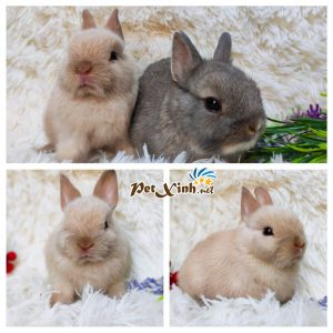 Thỏ Hà Lan Thỏ Mini