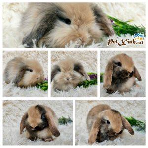Thỏ tai cụp Minilop 6
