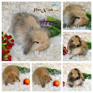 Thỏ tai cụp Minilop 8