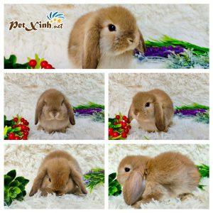 Thỏ tai cụp Minilop 10
