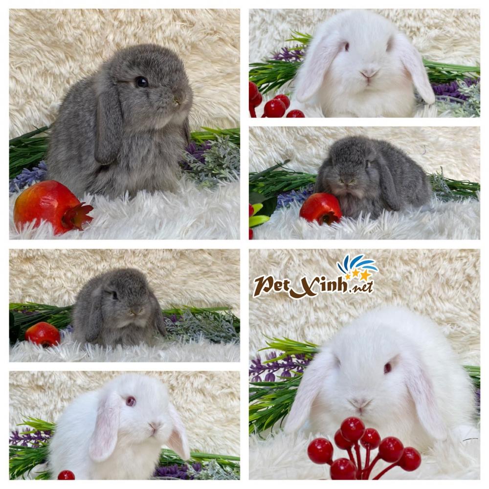 Thỏ tai cụp Minilop 12