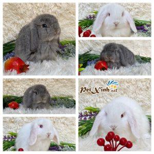 Thỏ tai cụp minilop
