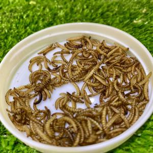 sâu gạo