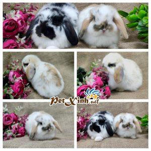 Thỏ tai cụp Minilop 11