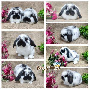 Thỏ tai cụp Minilop 5