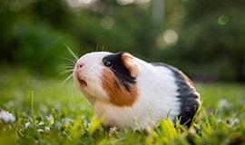 bọ ú lông xùi guinea pig