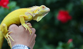 rồng nam mỹ iguana