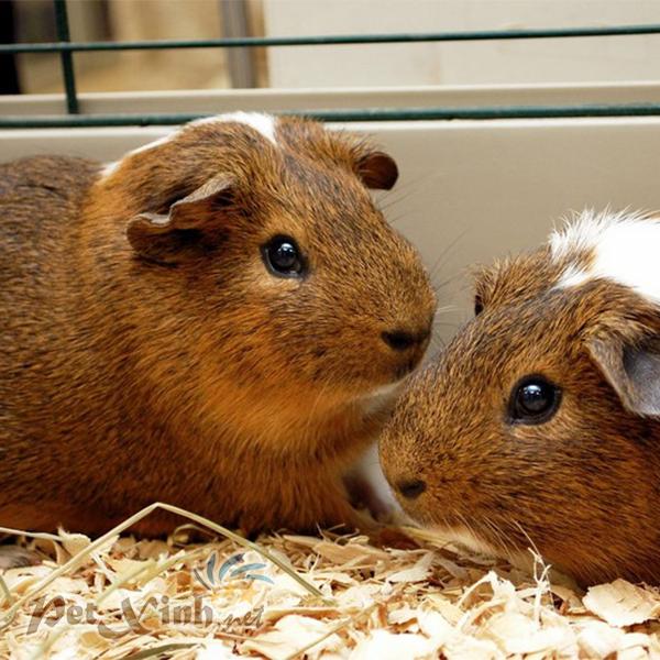 English guinea pig