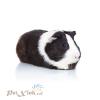 Guinea pig Dutch