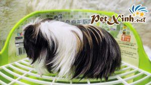 Guinea Pig Coronet 10